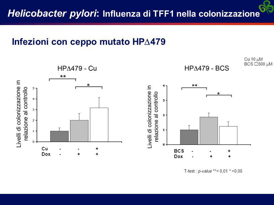 Infezioni con ceppo mutato HP  479 Helicobacter pylori: Influenza di TFF1 nella colonizzazione T-test : p-value **< 0,01 * <0,05 Cu - - + Dox - + + BCS - - + Dox - + + Cu 10  M BCS 500  M