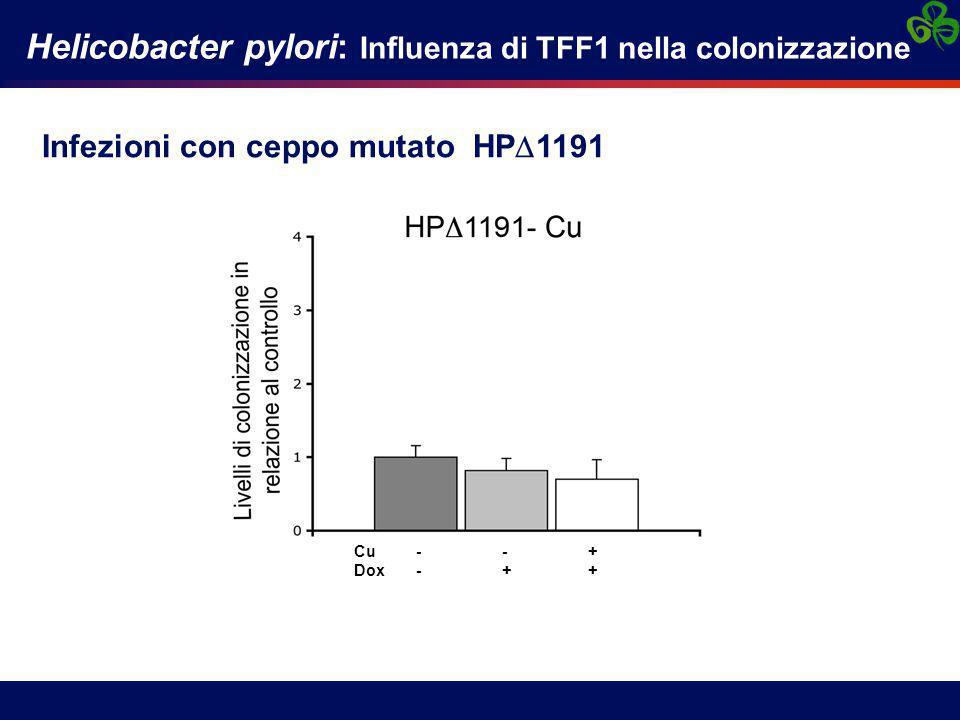 Infezioni con ceppo mutato HP  1191 Helicobacter pylori: Influenza di TFF1 nella colonizzazione control Dox Dox Cu Cu - - + Dox - + +
