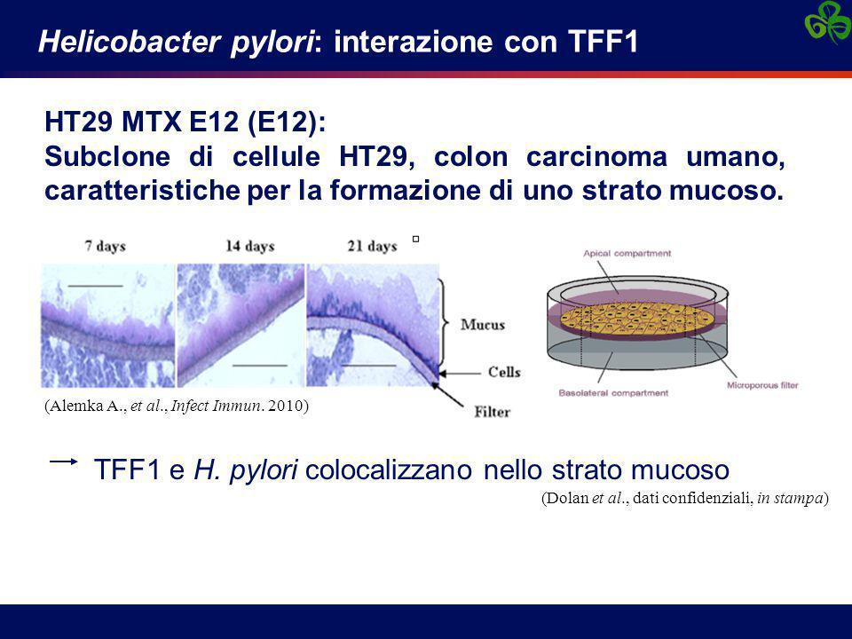 Helicobacter pylori: interazione con TFF1 HT29 MTX E12 (E12): Subclone di cellule HT29, colon carcinoma umano, caratteristiche per la formazione di uno strato mucoso.
