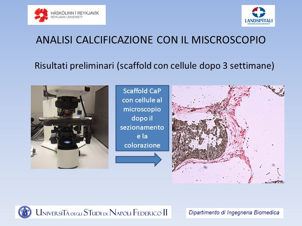 ANALISI CALCIFICAZIONE CON IL MISCROSCOPIO Risultati preliminari (scaffold con cellule dopo 3 settimane) Scaffold CaP con cellule al microscopio dopo