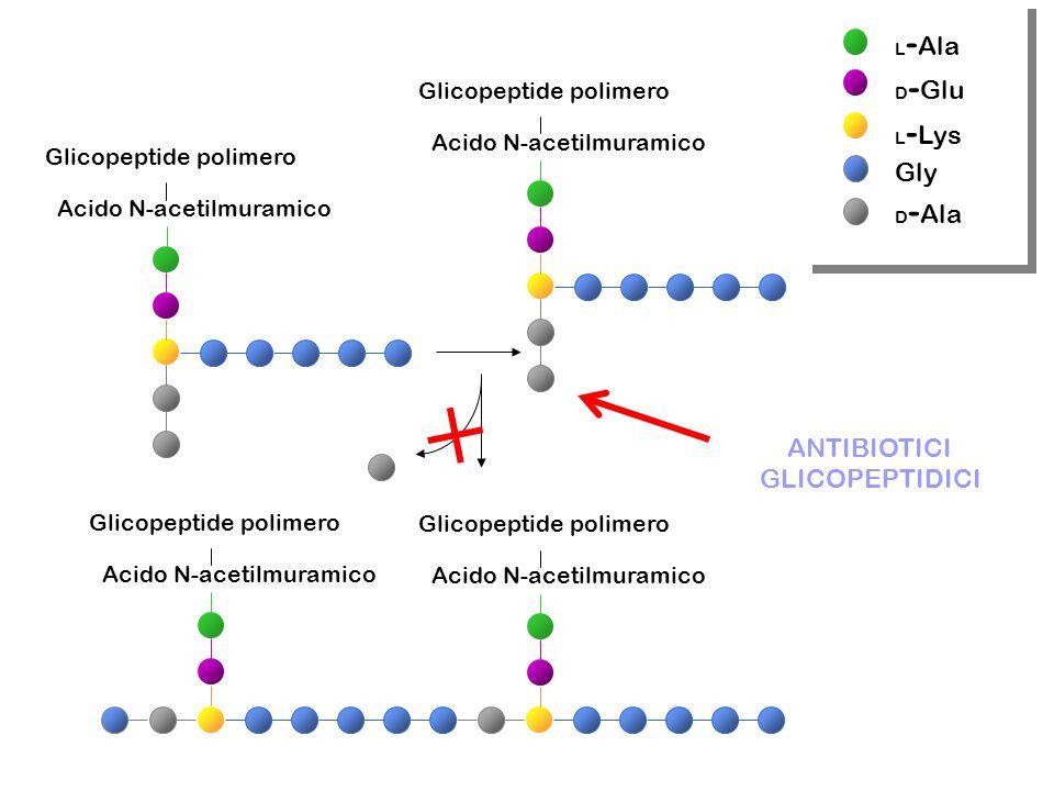 Acido N-acetilmuramico Glicopeptide polimero Acido N-acetilmuramico Glicopeptide polimero Acido N-acetilmuramico Glicopeptide polimero Acido N-acetilmuramico Glicopeptide polimero L - Ala D - Glu L - Lys Gly D - Ala ANTIBIOTICI GLICOPEPTIDICI