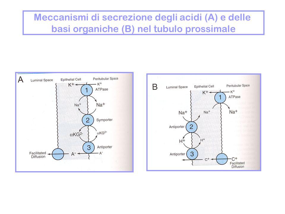 Meccanismi di secrezione degli acidi (A) e delle basi organiche (B) nel tubulo prossimale