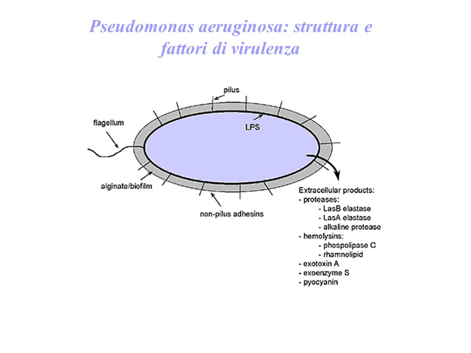 Pseudomonas aeruginosa: struttura e fattori di virulenza