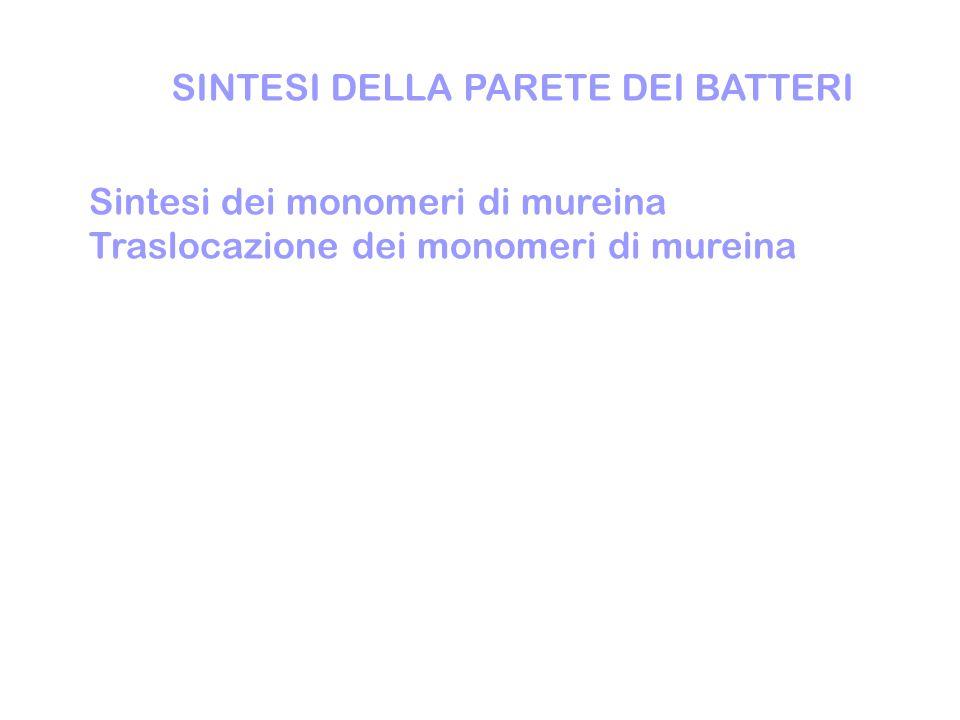 SINTESI DELLA PARETE DEI BATTERI Sintesi dei monomeri di mureina Traslocazione dei monomeri di mureina