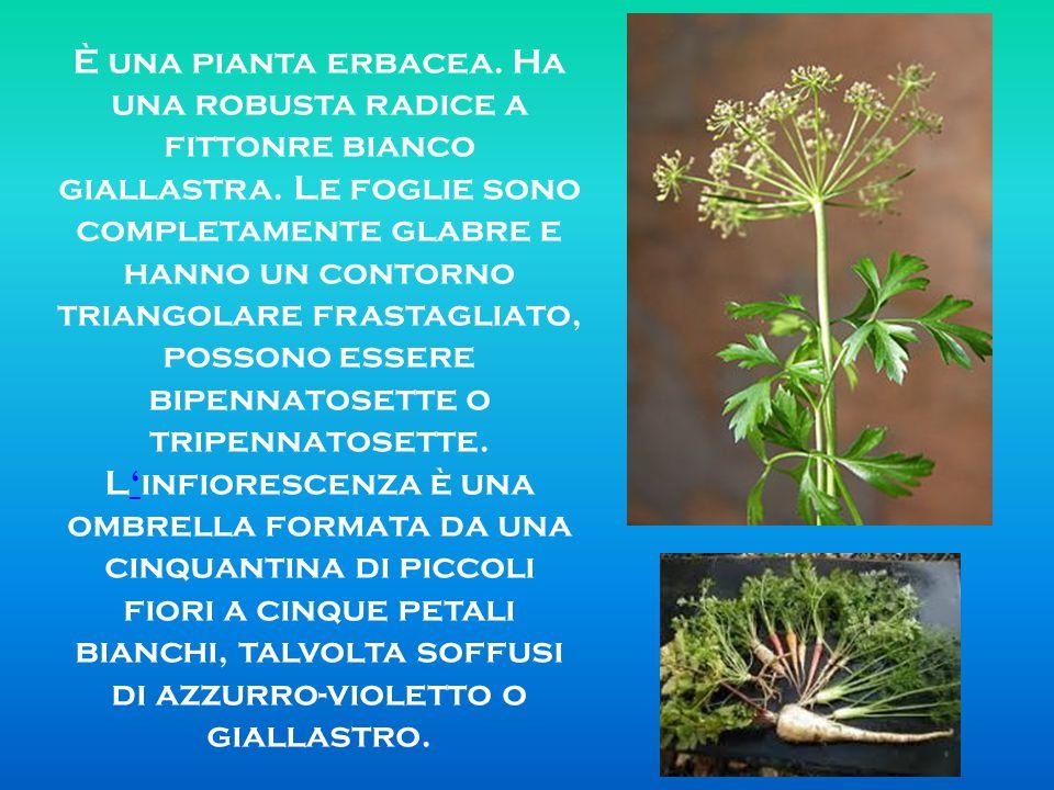 È una pianta erbacea. Ha una robusta radice a fittonre bianco giallastra. Le foglie sono completamente glabre e hanno un contorno triangolare frastagl