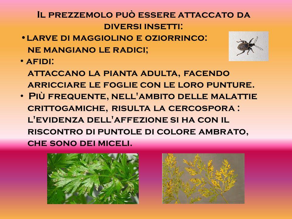 Il prezzemolo può essere attaccato da diversi insetti: larve di maggiolino e oziorrinco: ne mangiano le radici; afidi: attaccano la pianta adulta, fac