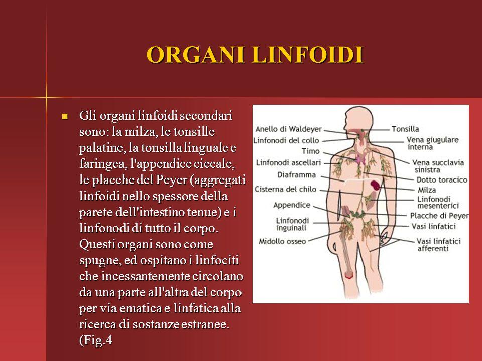 ORGANI LINFOIDI Gli organi linfoidi secondari sono: la milza, le tonsille palatine, la tonsilla linguale e faringea, l'appendice ciecale, le placche d