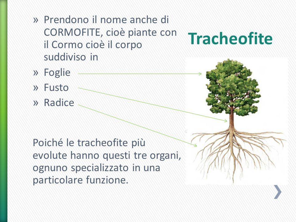 » Prendono il nome anche di CORMOFITE, cioè piante con il Cormo cioè il corpo suddiviso in » Foglie » Fusto » Radice Poiché le tracheofite più evolute