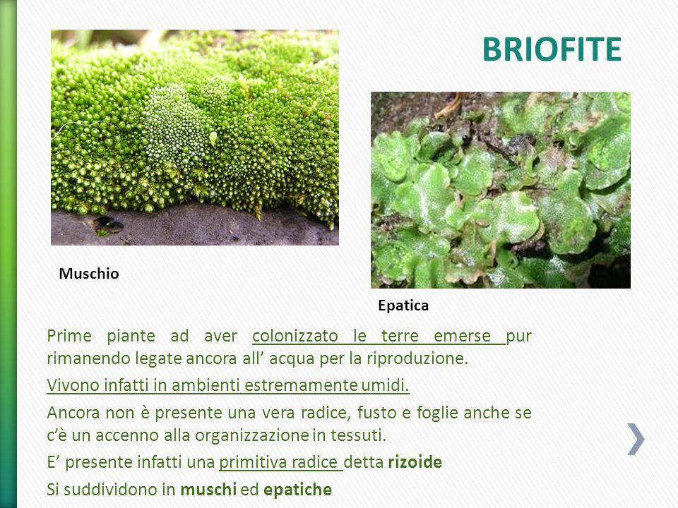 Dalle briofite si sono evolute le tracheofite cioè piante dotate di trachee ovvero vasi.