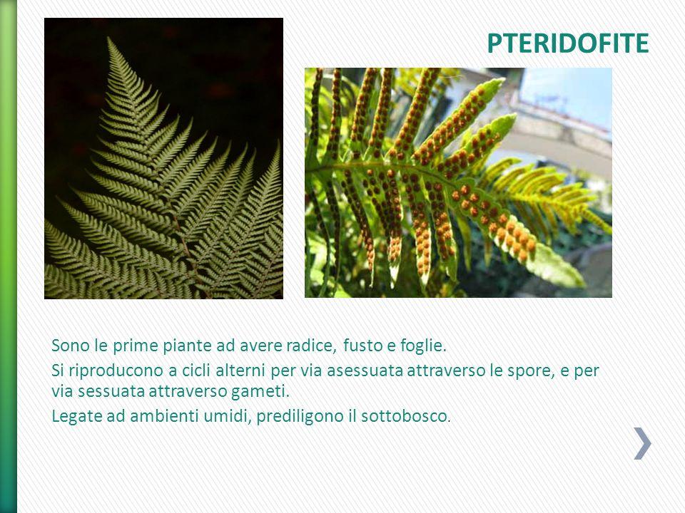 Sono le prime piante ad avere radice, fusto e foglie. Si riproducono a cicli alterni per via asessuata attraverso le spore, e per via sessuata attrave