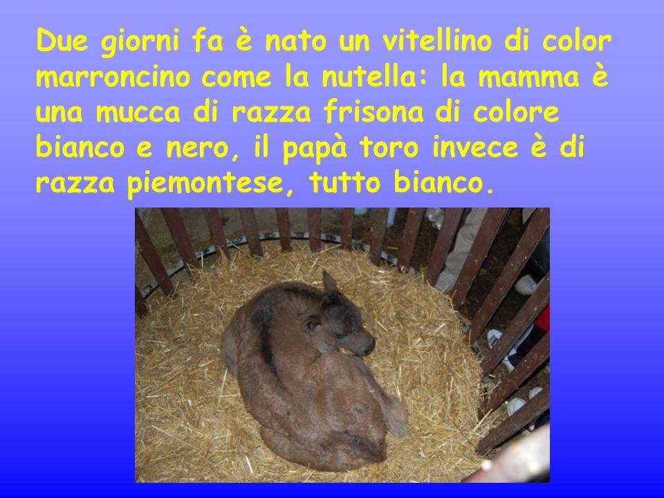 Due giorni fa è nato un vitellino di color marroncino come la nutella: la mamma è una mucca di razza frisona di colore bianco e nero, il papà toro inv