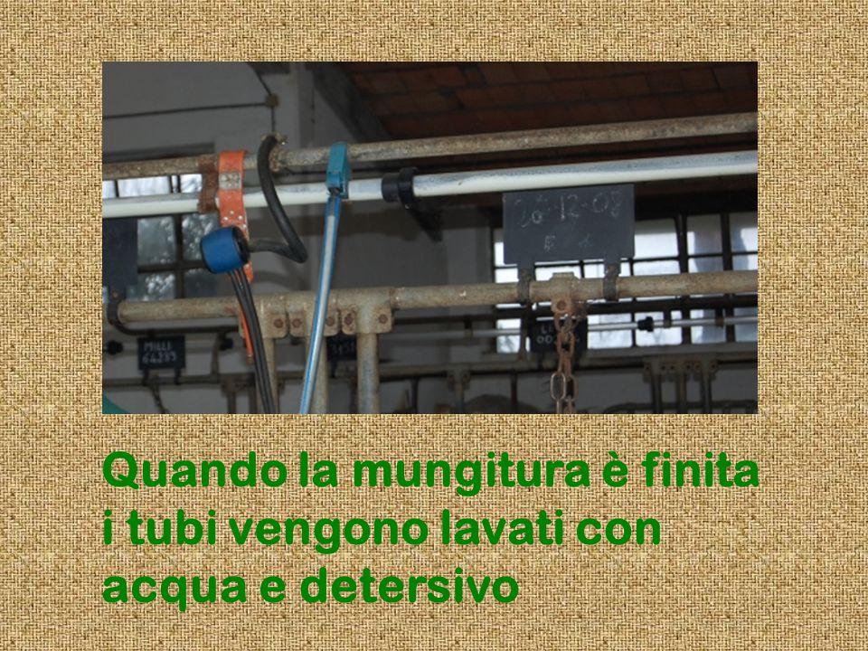 Quando la mungitura è finita i tubi vengono lavati con acqua e detersivo