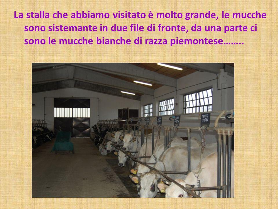 La stalla che abbiamo visitato è molto grande, le mucche sono sistemante in due file di fronte, da una parte ci sono le mucche bianche di razza piemon