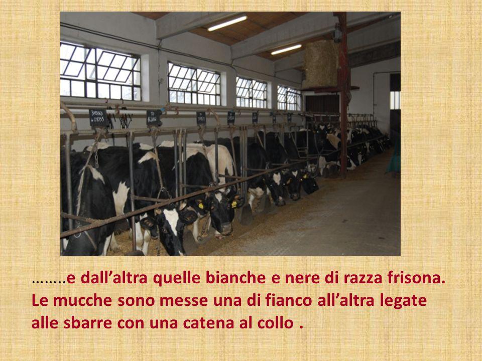 ……..e dall'altra quelle bianche e nere di razza frisona. Le mucche sono messe una di fianco all'altra legate alle sbarre con una catena al collo.