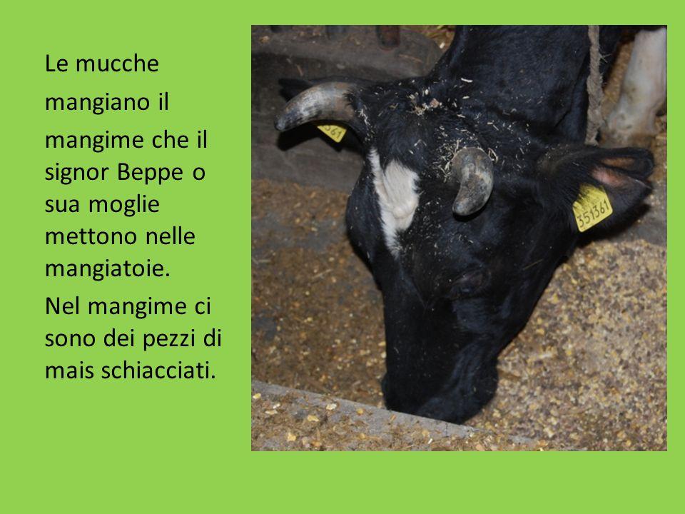 Le mucche mangiano il mangime che il signor Beppe o sua moglie mettono nelle mangiatoie. Nel mangime ci sono dei pezzi di mais schiacciati.