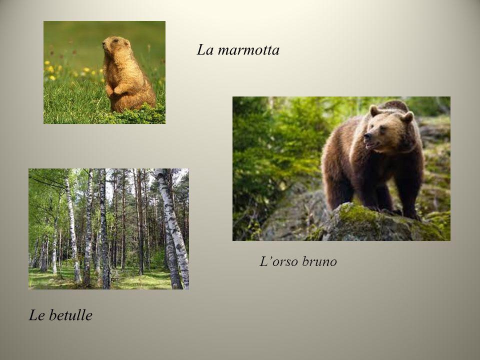 La marmotta L'orso bruno Le betulle