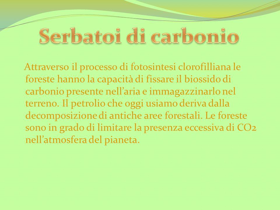 Attraverso il processo di fotosintesi clorofilliana le foreste hanno la capacità di fissare il biossido di carbonio presente nell'aria e immagazzinarl