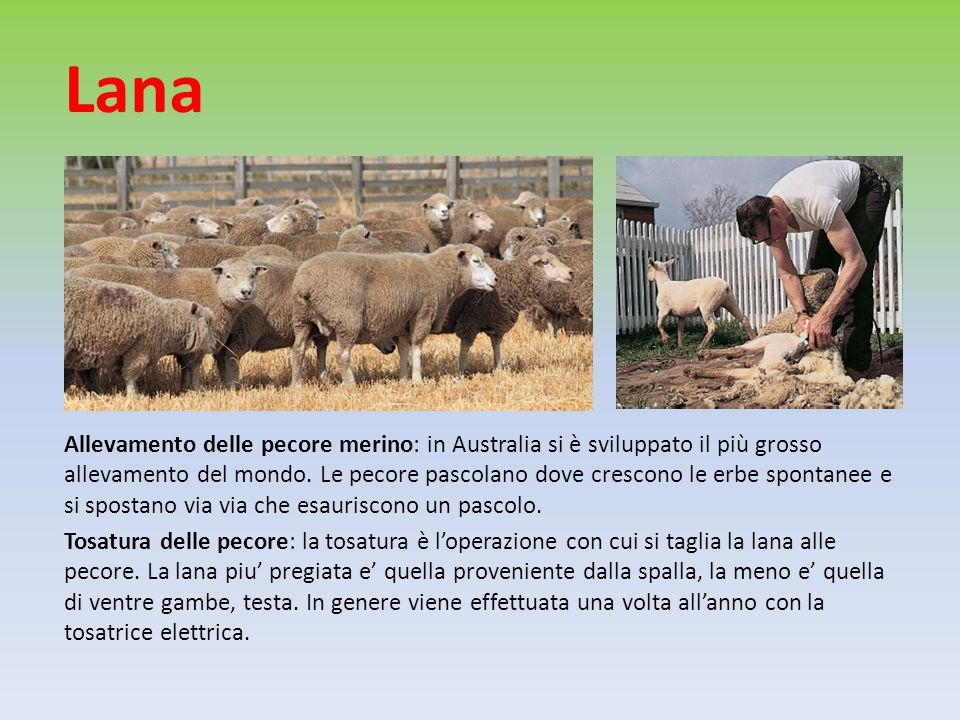 Lana Allevamento delle pecore merino: in Australia si è sviluppato il più grosso allevamento del mondo.
