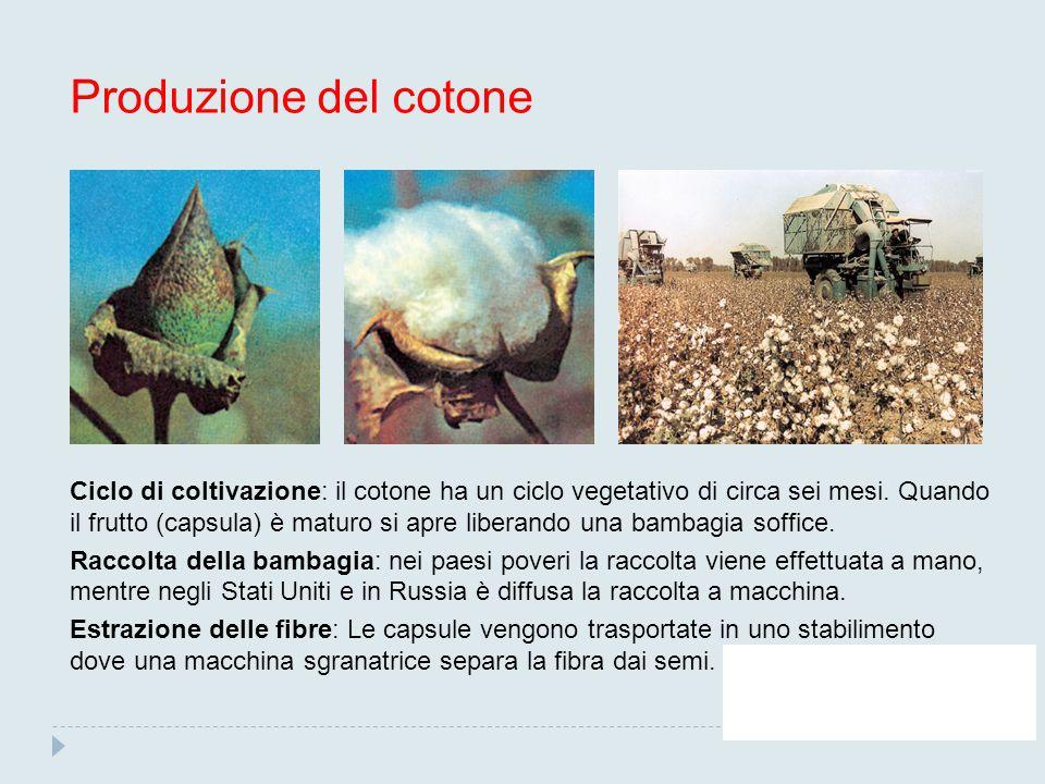 Produzione del cotone Ciclo di coltivazione: il cotone ha un ciclo vegetativo di circa sei mesi. Quando il frutto (capsula) è maturo si apre liberando