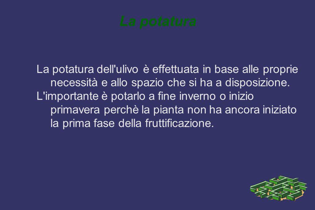 La potatura La potatura dell'ulivo è effettuata in base alle proprie necessità e allo spazio che si ha a disposizione. L'importante è potarlo a fine i