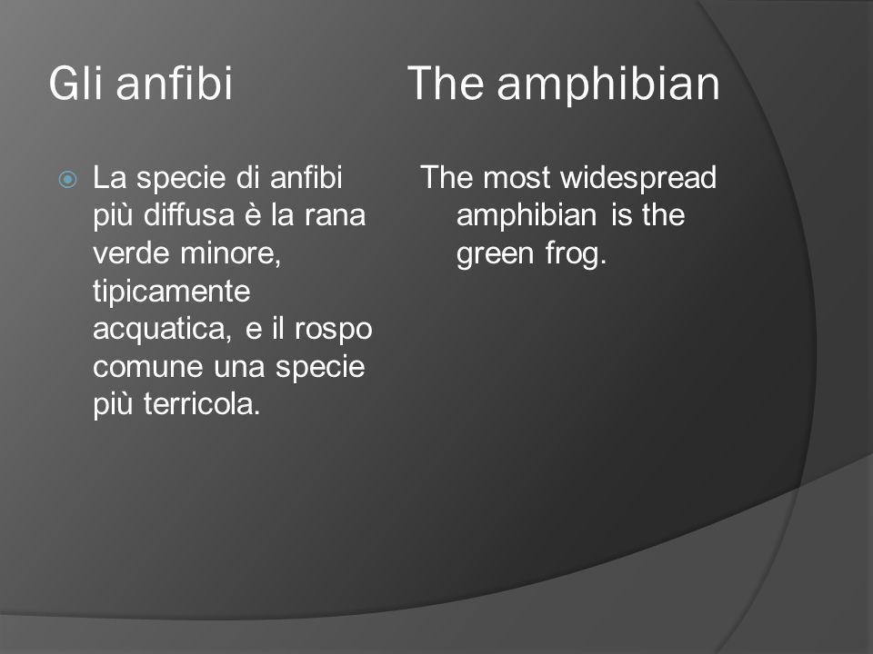 Gli anfibi The amphibian  La specie di anfibi più diffusa è la rana verde minore, tipicamente acquatica, e il rospo comune una specie più terricola.
