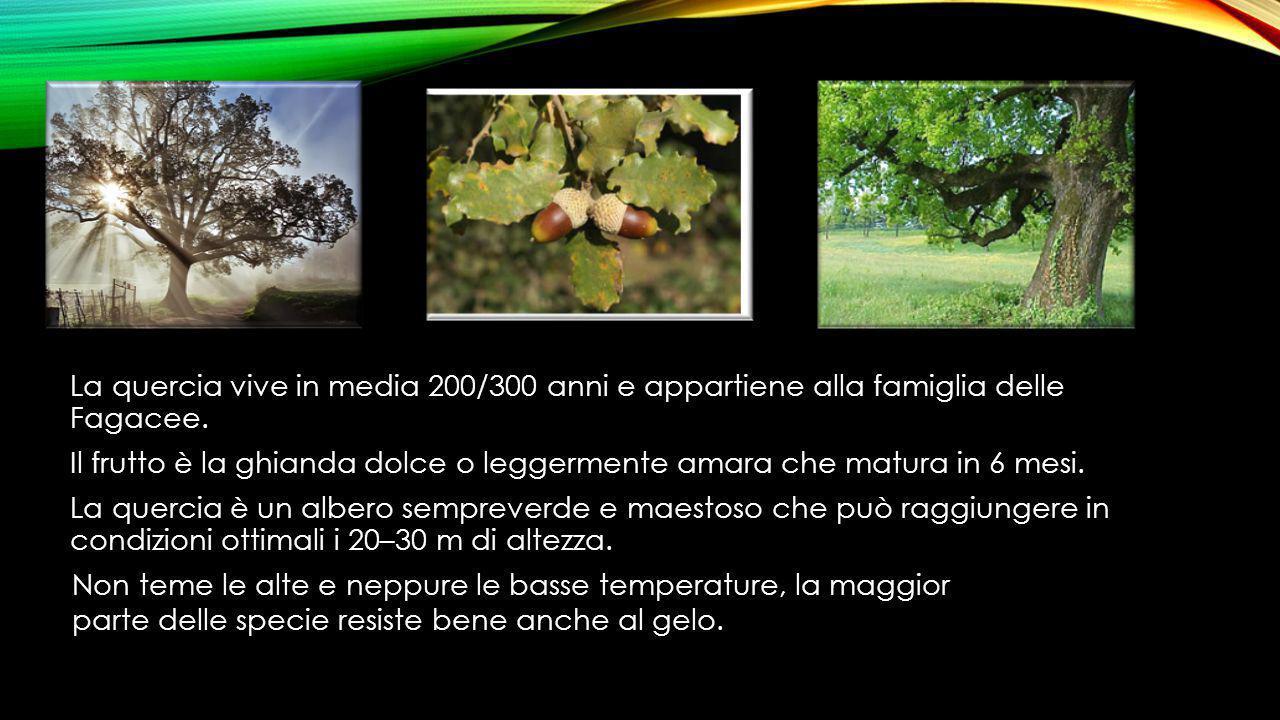 La quercia vive in media 200/300 anni e appartiene alla famiglia delle Fagacee. Il frutto è la ghianda dolce o leggermente amara che matura in 6 mesi.