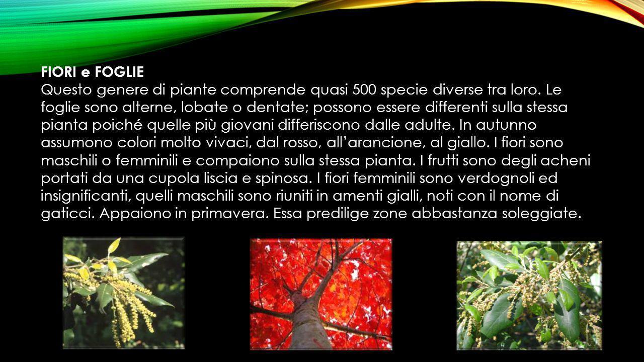 FIORI e FOGLIE Questo genere di piante comprende quasi 500 specie diverse tra loro. Le foglie sono alterne, lobate o dentate; possono essere different