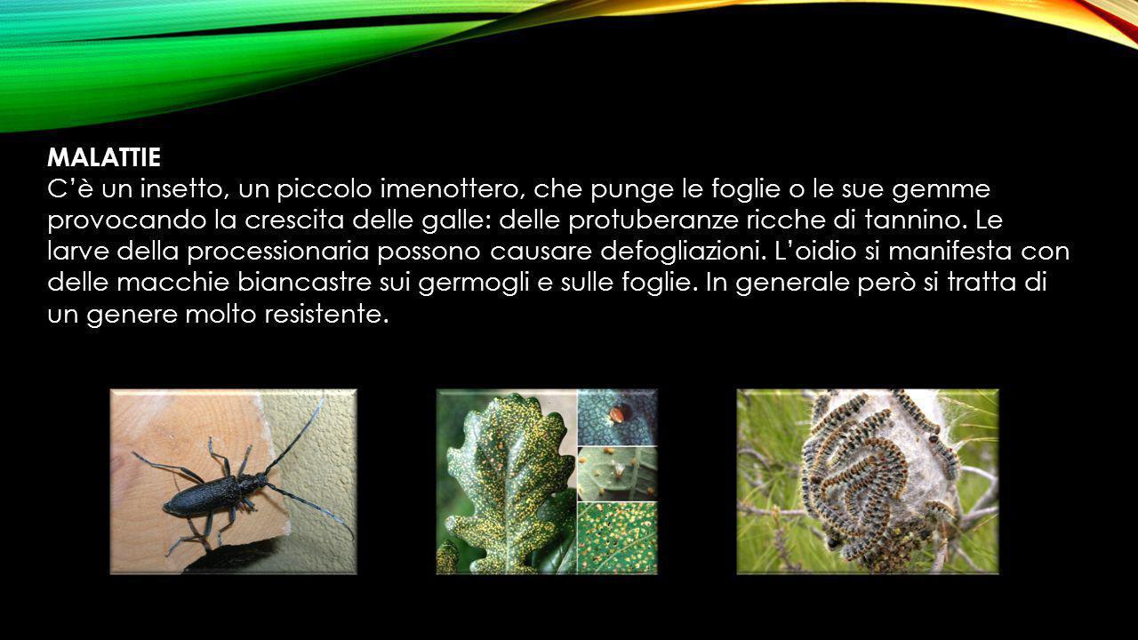 MALATTIE C'è un insetto, un piccolo imenottero, che punge le foglie o le sue gemme provocando la crescita delle galle: delle protuberanze ricche di ta