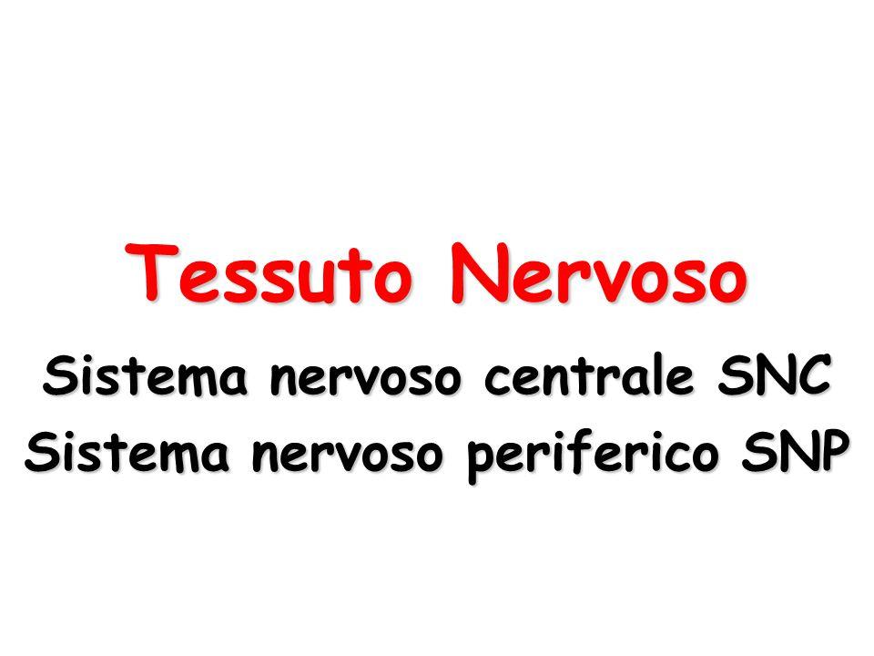 Tessuto Nervoso Sistema nervoso centrale SNC Sistema nervoso periferico SNP