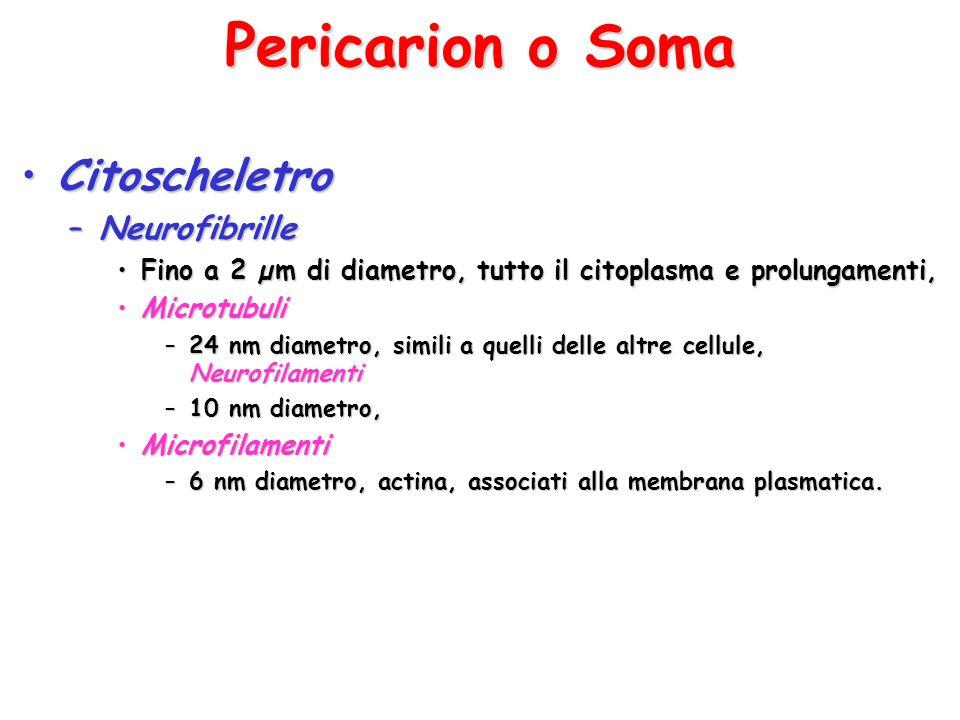 Pericarion o Soma CitoscheletroCitoscheletro –Neurofibrille Fino a 2 µm di diametro, tutto il citoplasma e prolungamenti,Fino a 2 µm di diametro, tutt