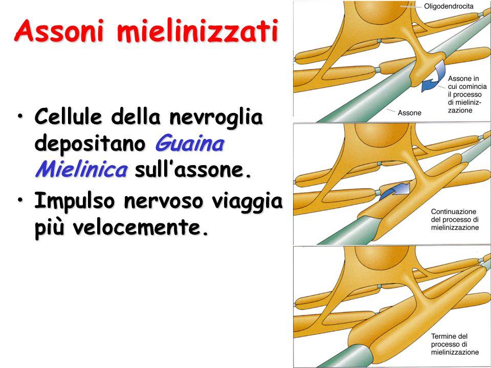 Assoni mielinizzati Cellule della nevroglia depositano Guaina Mielinica sull'assone.Cellule della nevroglia depositano Guaina Mielinica sull'assone. I