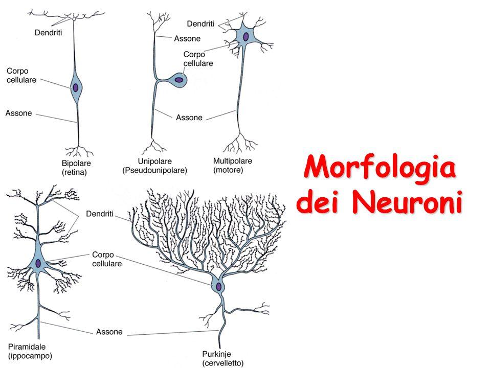 Morfologia dei Neuroni