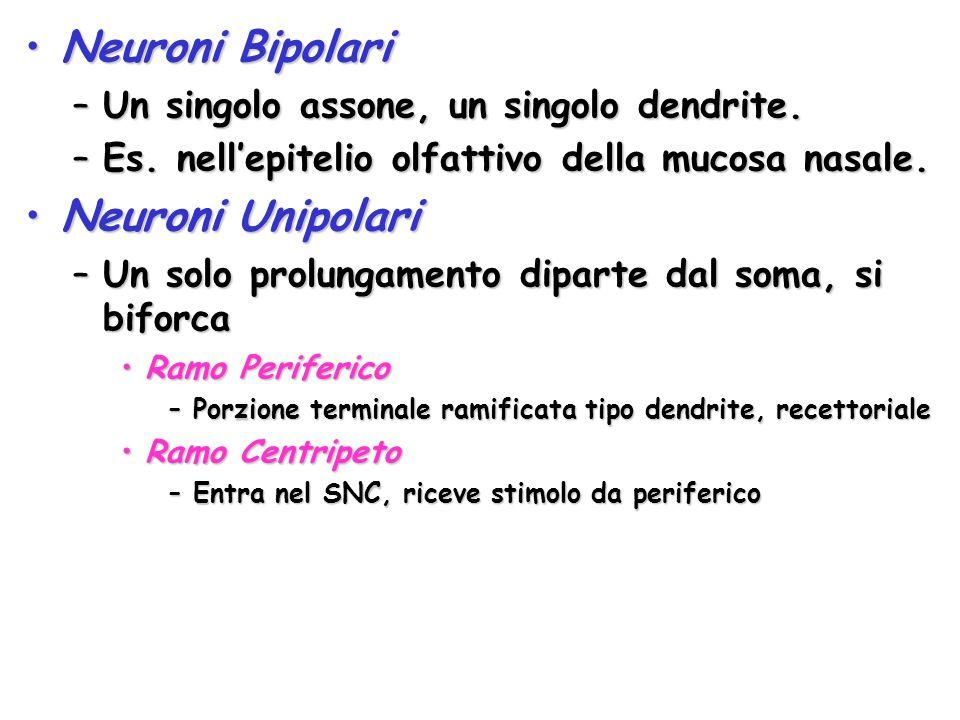 Neuroni BipolariNeuroni Bipolari –Un singolo assone, un singolo dendrite. –Es. nell'epitelio olfattivo della mucosa nasale. Neuroni UnipolariNeuroni U