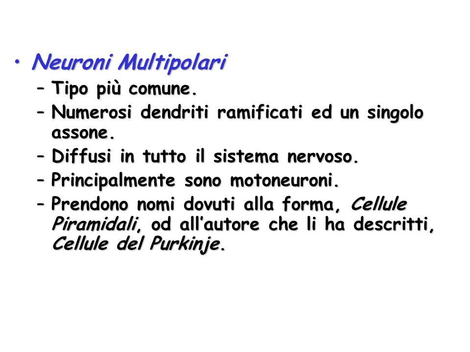 Neuroni MultipolariNeuroni Multipolari –Tipo più comune. –Numerosi dendriti ramificati ed un singolo assone. –Diffusi in tutto il sistema nervoso. –Pr
