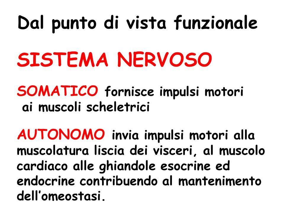 SISTEMA NERVOSO SOMATICO fornisce impulsi motori ai muscoli scheletrici AUTONOMO invia impulsi motori alla muscolatura liscia dei visceri, al muscolo