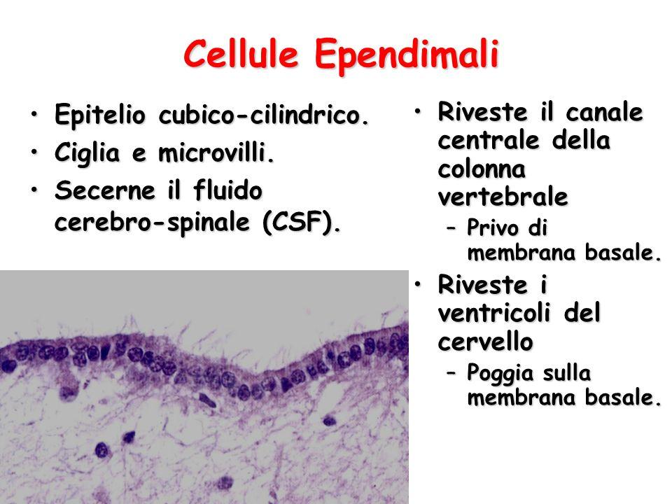 Cellule Ependimali Epitelio cubico-cilindrico.Epitelio cubico-cilindrico. Ciglia e microvilli.Ciglia e microvilli. Secerne il fluido cerebro-spinale (