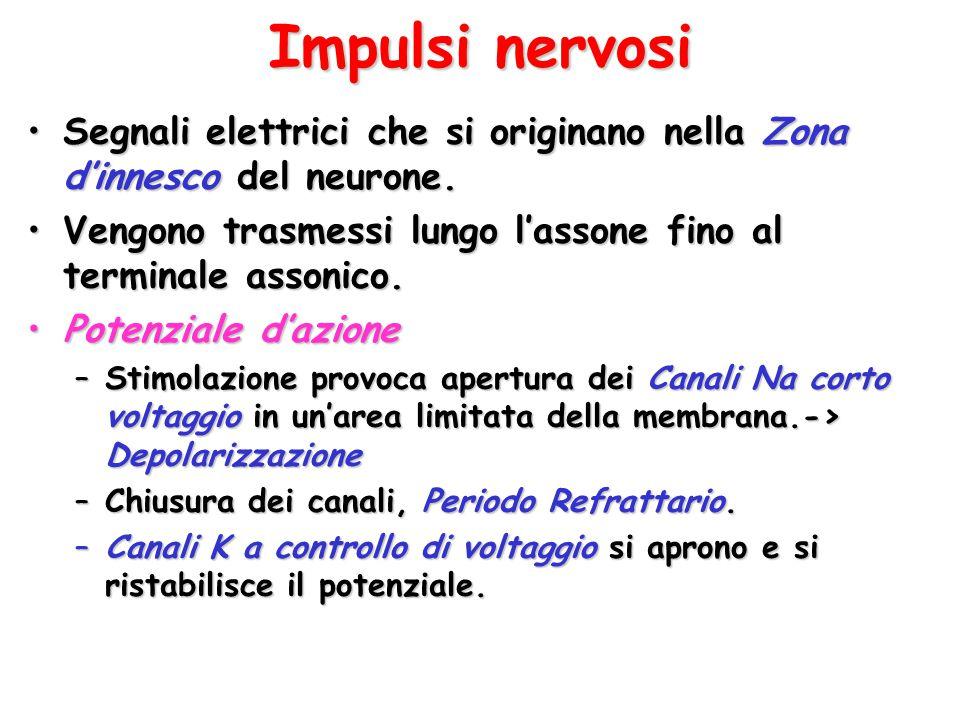 Impulsi nervosi Segnali elettrici che si originano nella Zona d'innesco del neurone.Segnali elettrici che si originano nella Zona d'innesco del neuron