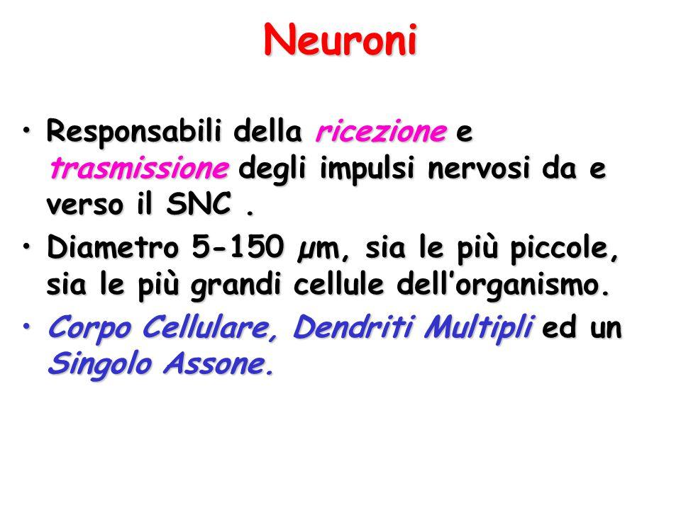 Neuroni Responsabili della ricezione e trasmissione degli impulsi nervosi da e verso il SNC.Responsabili della ricezione e trasmissione degli impulsi