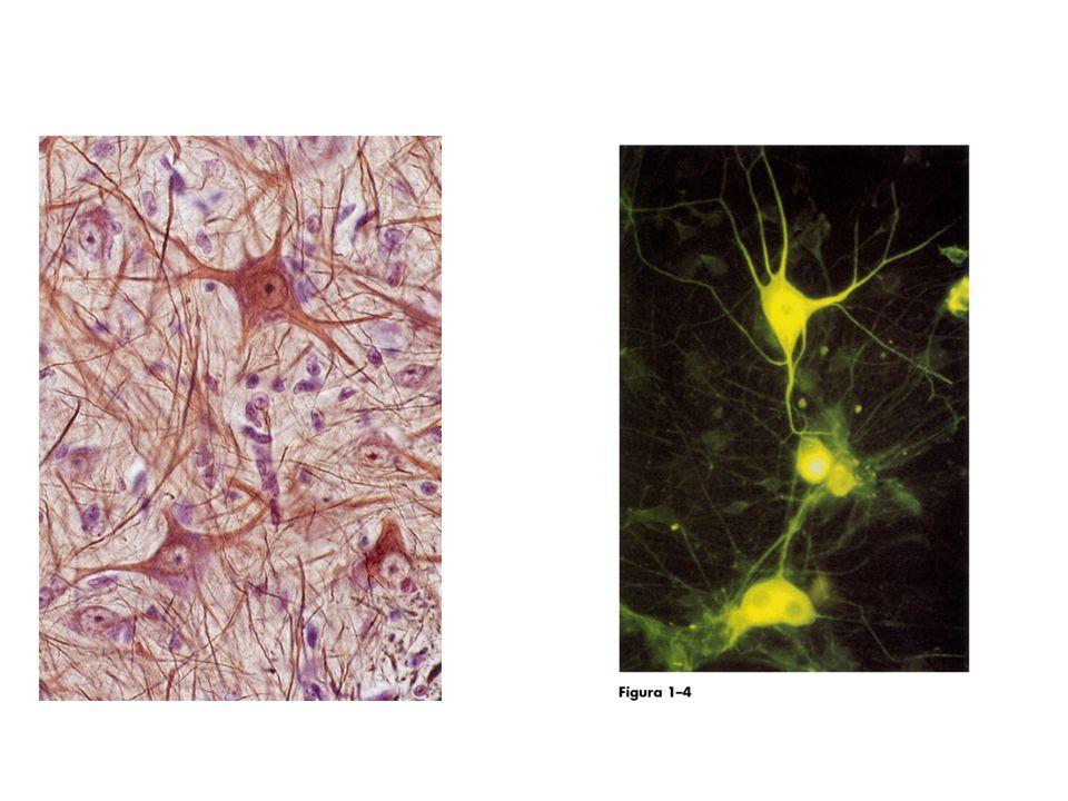 Nevroglia più che un riempitivo Prende contatto con i neuroniPrende contatto con i neuroni Circonda le sinapsiCirconda le sinapsi Intimo contatto con i vasi sanguigni e gli altri astrocitiIntimo contatto con i vasi sanguigni e gli altri astrociti Regola gli impulsi nervosiRegola gli impulsi nervosi Forma la barriera emato-encefalicaForma la barriera emato-encefalica Guida la migrazione dei neuroni durante lo sviluppo embrionaleGuida la migrazione dei neuroni durante lo sviluppo embrionale