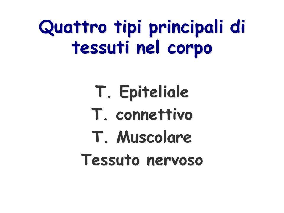 Quattro tipi principali di tessuti nel corpo T. Epiteliale T. connettivo T. Muscolare Tessuto nervoso