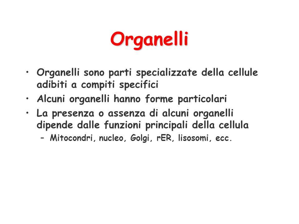Organelli Organelli sono parti specializzate della cellule adibiti a compiti specifici Alcuni organelli hanno forme particolari La presenza o assenza