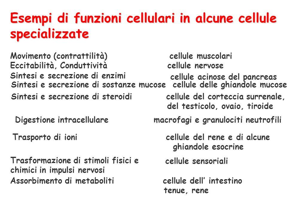 Esempi di funzioni cellulari in alcune cellule specializzate Movimento (contrattilità) cellule muscolari Eccitabilità, Conduttività cellule nervose Si