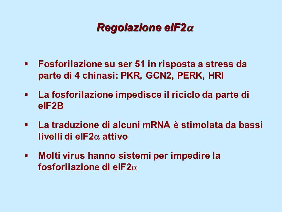 Regolazione eIF2   Fosforilazione su ser 51 in risposta a stress da parte di 4 chinasi: PKR, GCN2, PERK, HRI  La fosforilazione impedisce il ricicl