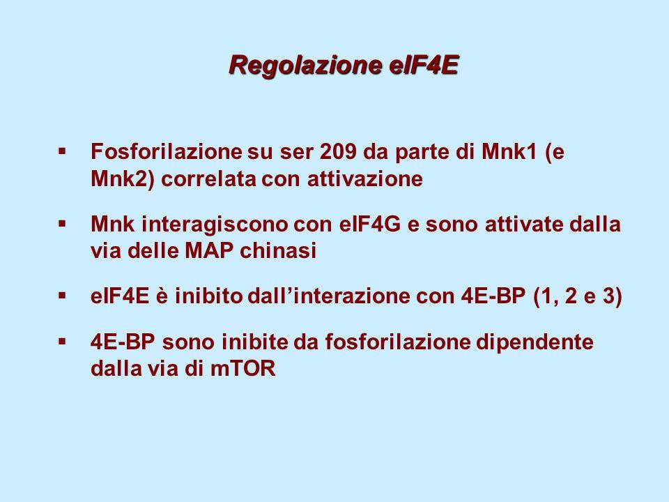 Regolazione eIF4E  Fosforilazione su ser 209 da parte di Mnk1 (e Mnk2) correlata con attivazione  Mnk interagiscono con eIF4G e sono attivate dalla