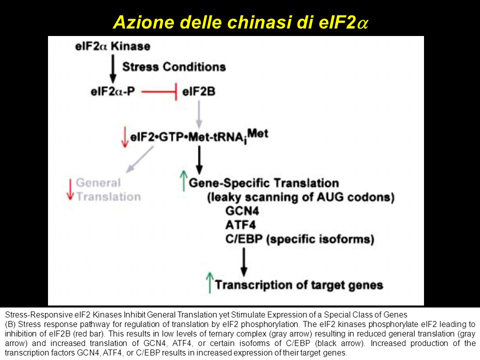 Stress-Responsive eIF2 Kinases Inhibit General Translation yet Stimulate Expression of a Special Class of Genes (B) Stress response pathway for regula
