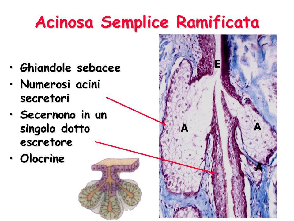 Acinosa Semplice Ramificata Ghiandole sebaceeGhiandole sebacee Numerosi acini secretoriNumerosi acini secretori Secernono in un singolo dotto escretoreSecernono in un singolo dotto escretore OlocrineOlocrine