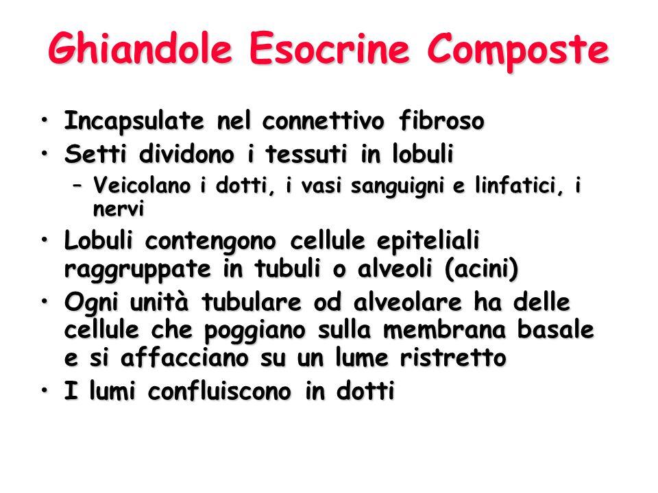 Ghiandole Esocrine Composte Incapsulate nel connettivo fibrosoIncapsulate nel connettivo fibroso Setti dividono i tessuti in lobuliSetti dividono i tessuti in lobuli –Veicolano i dotti, i vasi sanguigni e linfatici, i nervi Lobuli contengono cellule epiteliali raggruppate in tubuli o alveoli (acini)Lobuli contengono cellule epiteliali raggruppate in tubuli o alveoli (acini) Ogni unità tubulare od alveolare ha delle cellule che poggiano sulla membrana basale e si affacciano su un lume ristrettoOgni unità tubulare od alveolare ha delle cellule che poggiano sulla membrana basale e si affacciano su un lume ristretto I lumi confluiscono in dottiI lumi confluiscono in dotti