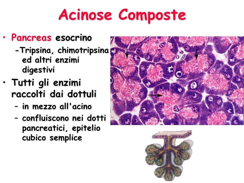 Acinose Composte Pancreas esocrinoPancreas esocrino -Tripsina, chimotripsina ed altri enzimi digestivi Tutti gli enzimi raccolti dai dottuliTutti gli enzimi raccolti dai dottuli –in mezzo all acino –confluiscono nei dotti pancreatici, epitelio cubico semplice