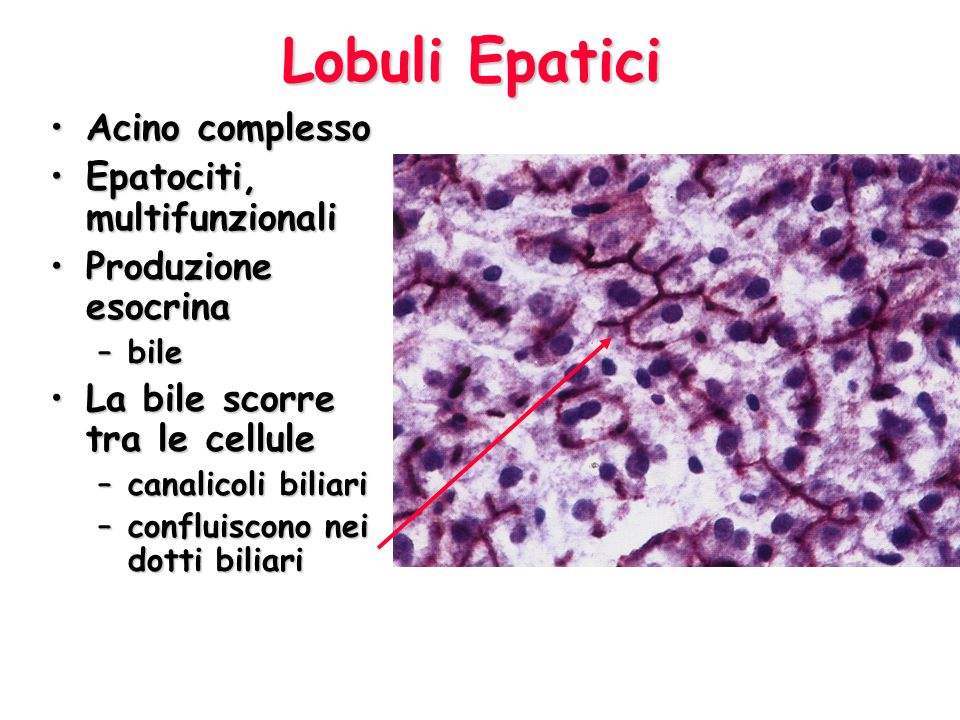 Tubulo-acinose composte Ghiandole salivari sottomandibolariGhiandole salivari sottomandibolari Cellule MioepitelialiCellule Mioepiteliali –strizzano il secreto dalle cellule 3 tipi3 tipi –Sierose Ricche di proteine, molto rERRicche di proteine, molto rER Colorazione scuraColorazione scura –Mucose Poco colorabiliPoco colorabili –Miste Mezzaluna sierosa
