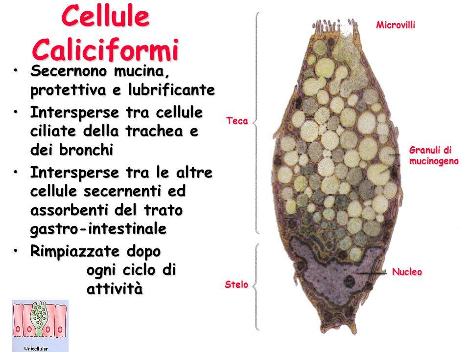 Cellule Caliciformi Secernono mucina, protettiva e lubrificanteSecernono mucina, protettiva e lubrificante Intersperse tra cellule ciliate della trach